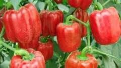 Перец сладкий: выращивание и уход от семян до плодов