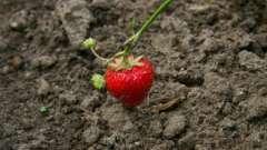 Пересадка клубники: заботимся о будущем урожае