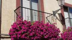 Петуния на балконе: выбор семян и тонкости выращивания
