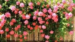 Плетущаяся роза - где и как посадить