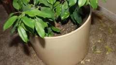 По каким причинам у фикуса опадают листья