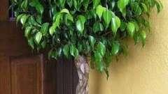 Почему опадают листья у комнатных растений