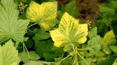Почему у черной смородины желтеют листья? Причины болезни, методы лечения и профилактики