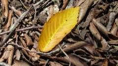Почему у фикуса опадают листья. У фикуса желтеют листья и опадают