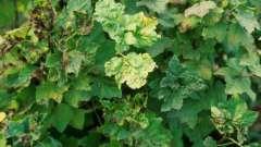 Почему у смородины желтеют листья: причины и способы борьбы с проблемой
