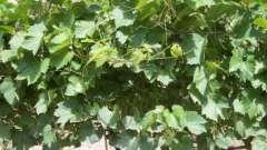 Подкормка винограда весной - советы и рекомендации