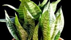 Полезное и красивое растение для вашего дома - сансевиерия. Уход в домашних условиях