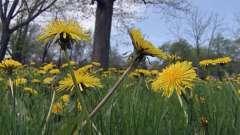 Полезные свойства корня одуванчика и его использование в народной медицине