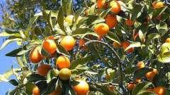 Полезные свойства кумквата: универсальный фрукт