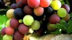 Польза виноградных косточек: использование в медицине и косметологии