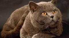 Популярная порода кошки. Британец - любимый домашний питомец