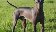 Популярные гладкошерстные породы собак