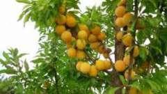 Популярные желтые сорта слив