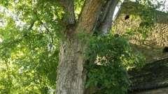 Посади дерево жизни, если знаешь о том, как вырастить грецкий орех из ореха