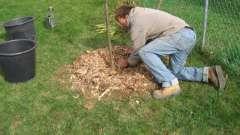 Посадка груши осенью происходит в заранее подготовленные ямки