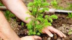Посадка хвойных деревьев на долгое время