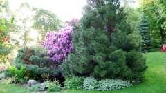 Посадка хвойных деревьев весной: рекомендации