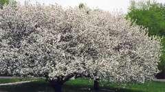 Посадка яблонь в сибири - приятная реальность