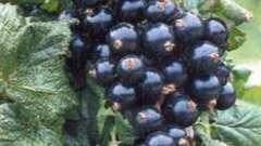 Посадка осенью смородины - необходимое мероприятие для богатого урожая летом
