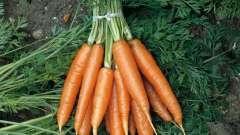 Посев моркови под зиму: основные правила