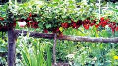 Правильная посадка красной смородины осенью
