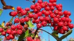 При болезнях поможет красная рябина: полезные свойства и противопоказания