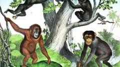 Приматы - это что за семейство? Отряд приматов и их эволюция