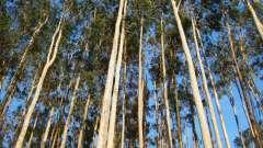 Применение эвкалипта: живительная сила стометрового дерева