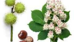 Применение каштана конского в народной медицине и его полезные свойства