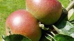 Прививка яблонь осенью: как и зачем это нужно делать