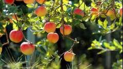 Прививка яблонь в августе черенком и другими способами