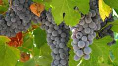 Прививка винограда осенью. Технология прививки винограда