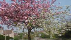 Прививка вишни весной: как правильно сделать