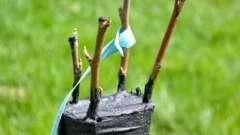 Привои и подвои наших садов: что на что можно прививать