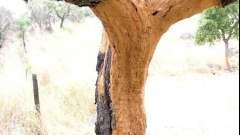 Пробковое дерево: уникум растительного мира