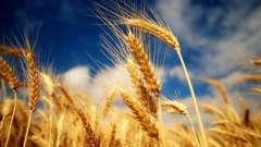 Пророщенная пшеница. Польза и вред панацеи