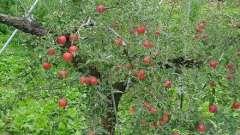 Работа на приусадебном участке: как посадить яблоню весной