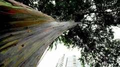 Радужный эвкалипт. Условия и места произрастания