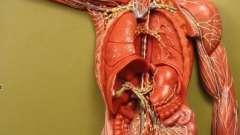 Расположение лимфоузлов на теле человека (на шее, в паху и под мышками)