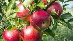 Расстояние между яблонями при посадке как определить правильно?