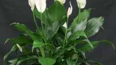 """Растение из тропиков с прекрасными белыми цветами - """"женское счастье"""". Уход в домашних условиях"""