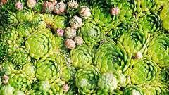 Растение каменный цветок (каменная роза): посадка и уход