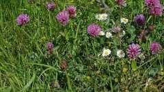 Растение кашка: лечебные свойства и применение