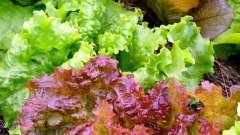 Растение салат: сорта, выращивание, полезные свойства
