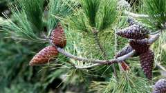 """Растения отдела """"голосеменные растения"""": признаки, особенности строения, примеры"""