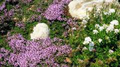 Растения, стелющиеся по земле: фото и названия
