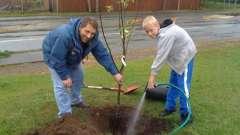 Разбираемся, как посадить яблоню осенью