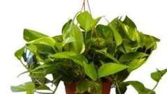 Разбираемся, почему желтеют листья у комнатных растений. Что делать, если у комнатной розы желтеют листья: полезные советы