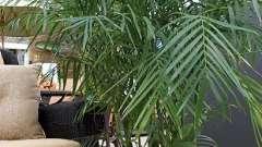 Разнообразны виды домашней пальмы — какую выбрать