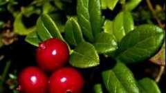 Рецепты опытных хозяек: как сохранить бруснику свежей
